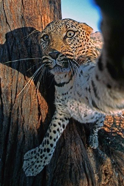 ZHA-Benny-Rebel-Fotoreise-Namibia-Leopard