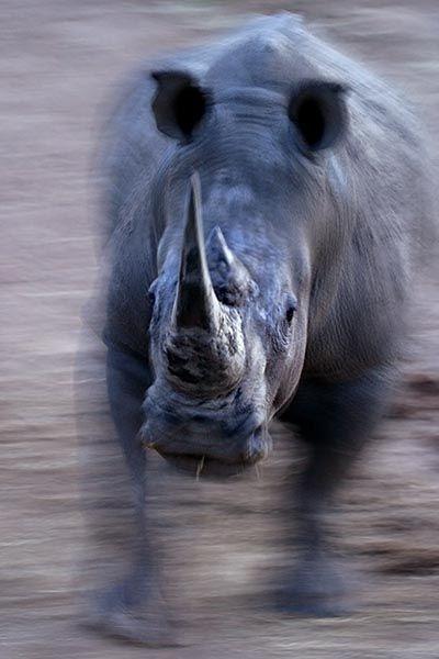ZHA-Benny-Rebel-Fotoreise-Suedafrika-Breitmaul-Nashorn