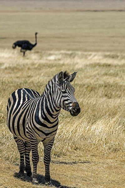 ZHA-Benny-Rebel-Fotoreise-Tansania-Zebra