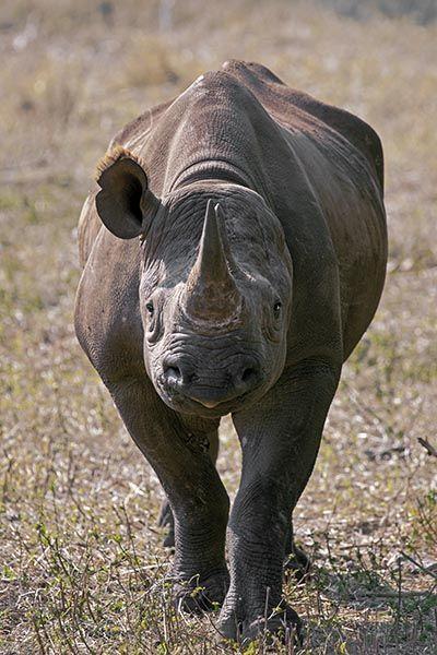 ZHAB-Benny-Rebel-Fotoreise-Suedafrika-Nashorn-Spitzmaul