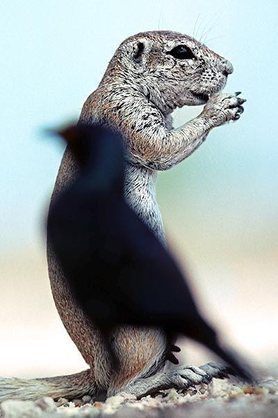 ZHB-Benny-Rebel-Fotoreise-Namibia-Erdhoernchen-Star