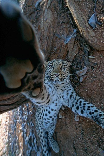 ZHB-Benny-Rebel-Fotoreise-Namibia-Leopard