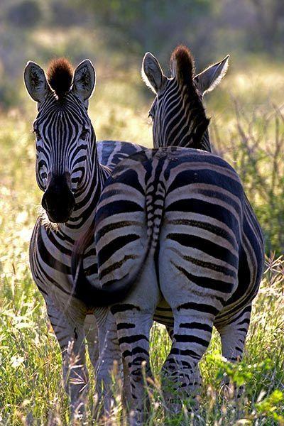 ZHB-Benny-Rebel-Fotoreise-Suedafrika-Zebra