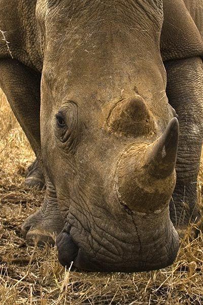 ZHB-Benny-Rebel-Fotoreise-Swaziland-Breitmaul-Nashorn