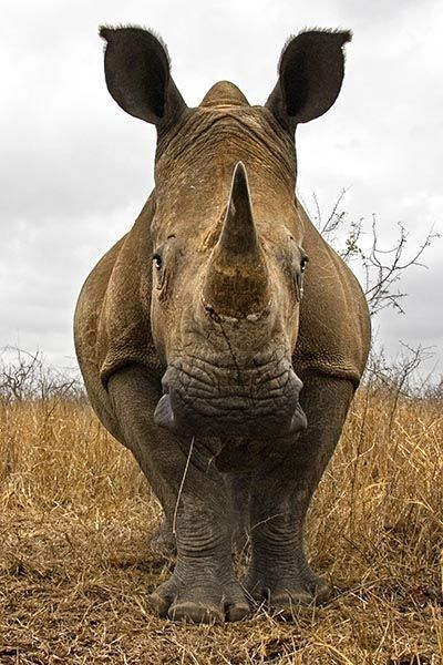 ZHC-Benny-Rebel-Fotoreise-Swaziland-Breitmaul-Nashorn