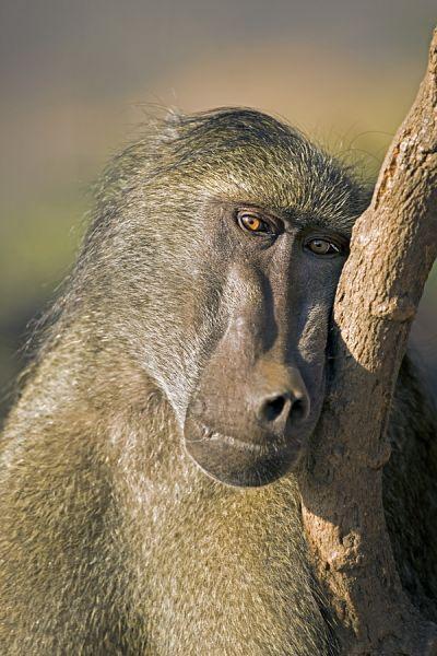 ZHE-Benny-Rebel-Fotoreise-Suedafrika-Pavian
