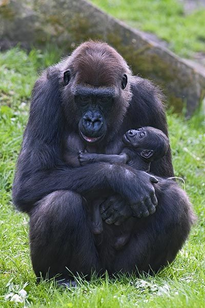 ZHQ-Benny-Rebel-Fotoreise-Gorilla