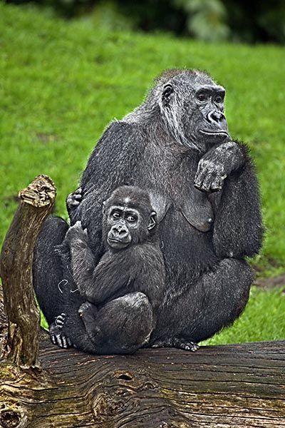 ZHR-Benny-Rebel-Fotoreise-Gorilla