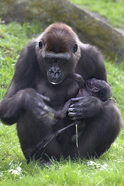 ZHU-Benny-Rebel-Fotoreise-Gorilla-1