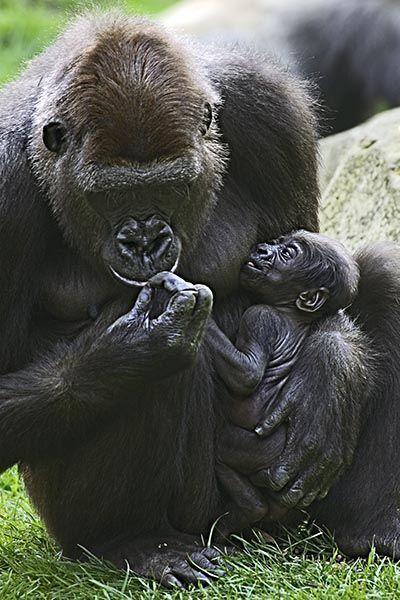 ZHV-Benny-Rebel-Fotoreise-Gorilla