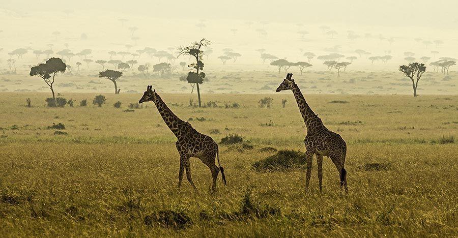 ZP-AA-Benny-Rebel-Fotoreise-Kenia-Giraffe