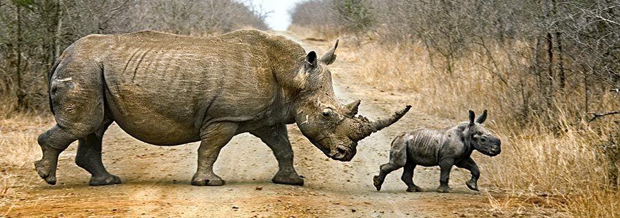 ZPA-Benny-Rebel-Fotoreise-Swaziland-Breitmaul-Nashorn