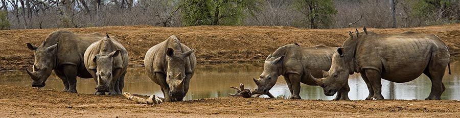 ZPB-Benny-Rebel-Fotoreise-Swaziland-Breitmaul-Nashorn