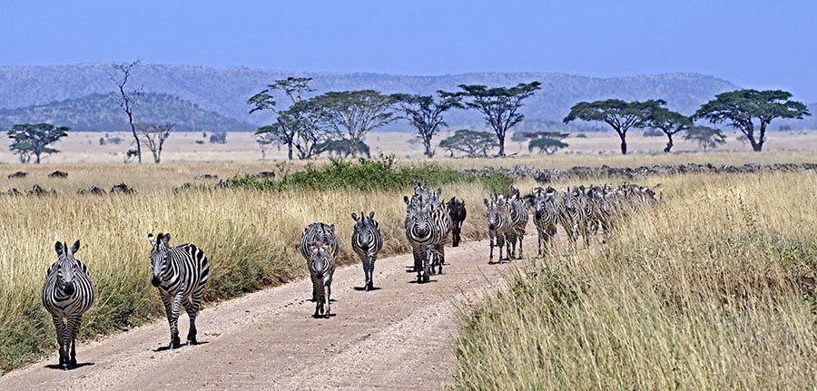 ZPC-Benny-Rebel-Fotoreise-Tansania-Zebra