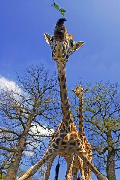 ZZH-AA-Benny-Rebel-Fotoreise-Suedafrika-Giraffe
