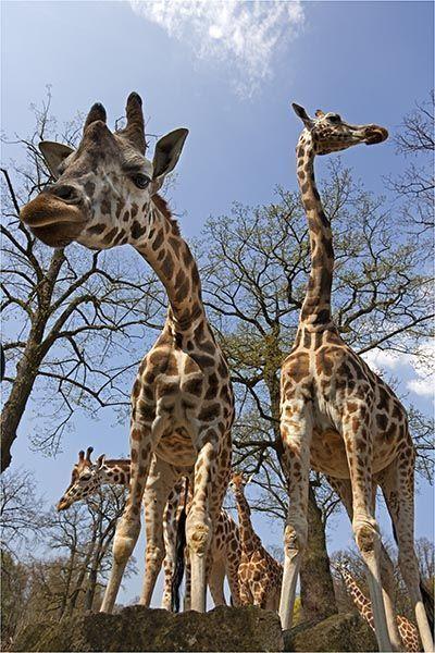 ZZH-AB-Benny-Rebel-Fotoreise-Suedafrika-Giraffe