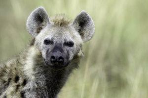 Hyaene-Masai-Mara-Fotoreise-Fotosafari_Kenia_DSC6443