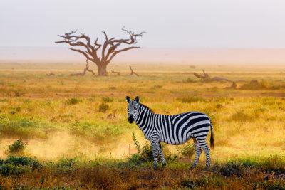 Amboseli, Zebra, Fotosafari, Afrika, Benny Rebel,