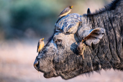 buffalo and the oxpecker triangle