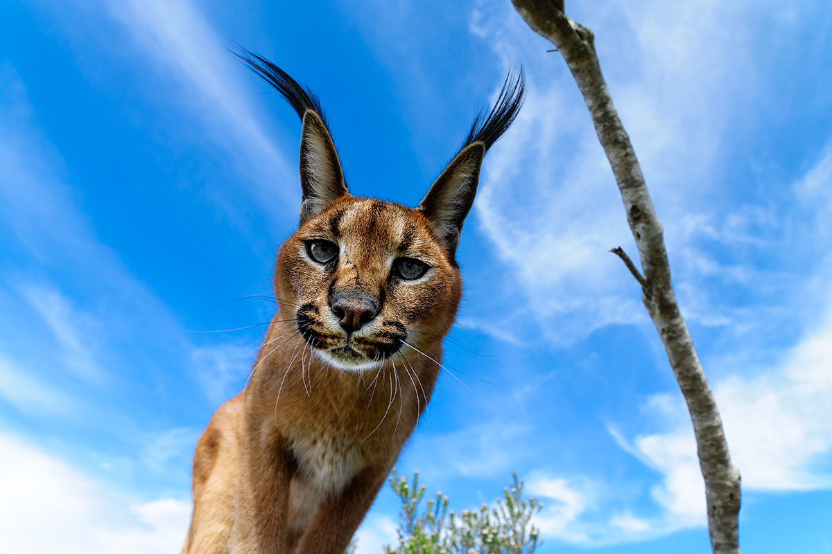 Caracal close up, Benny Rebel