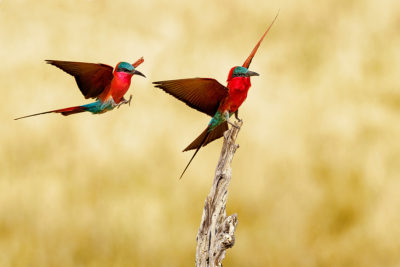 carmine-bee-eater-benny-rebel