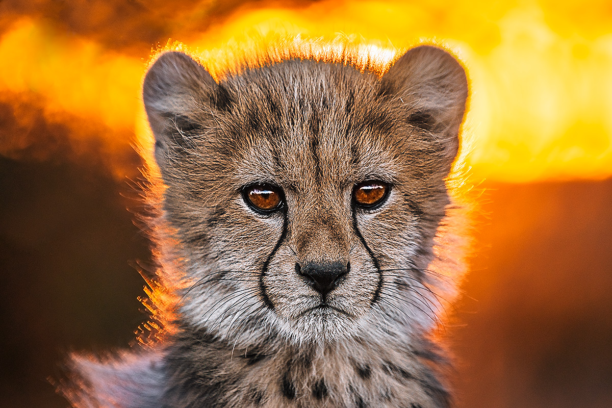 Fine Art Print, Benny Rebel, cheetah baby at sunset