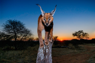 dusk and caracal, Benny rebel, Fotografie