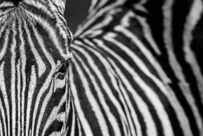 Zebra, schwarz, weiß, black, white Benny Rebel, Fine Art Print, Afrika, Fotografie