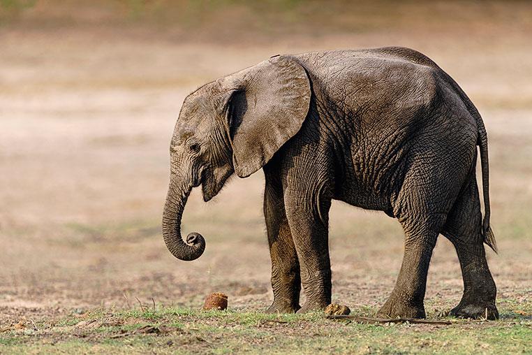 Elefant-Baby-Chobe_Botswana-3-0257-30x45