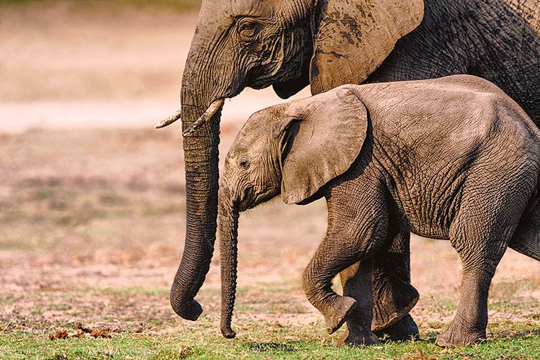 Elefant-Chobe-Botswana_3-0194-30x45