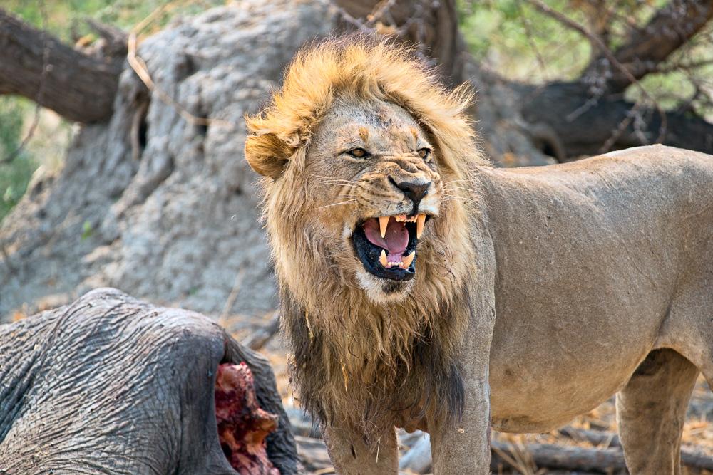 Fotoreise Botswana Löwen töten Elefant