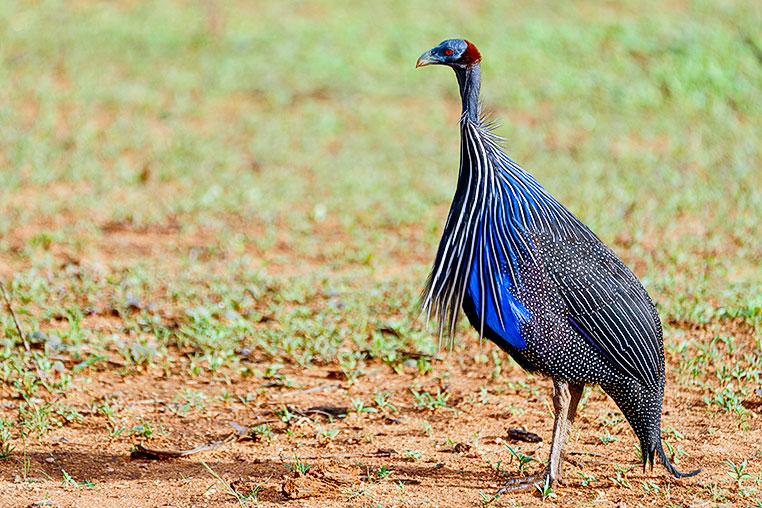 Geierperlhuhn Fotoreise Kenia