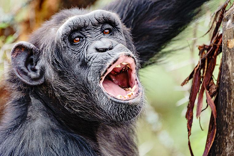 Schimpansen Fotosafari Kenia
