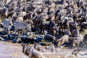 Flussüberquerung auf der Fotoreise in der Masai Mara