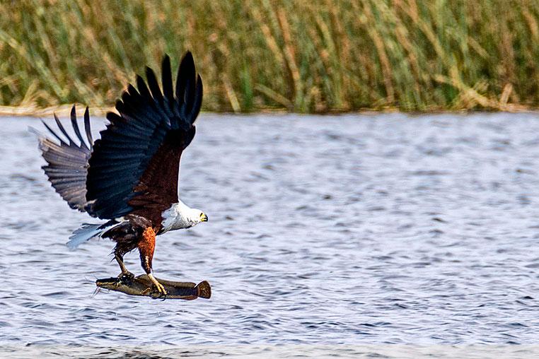 Fotoreise Kenia Adler fischt