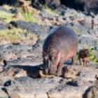 Bild des Tages: Fotoreise Tansania, Flusspferde