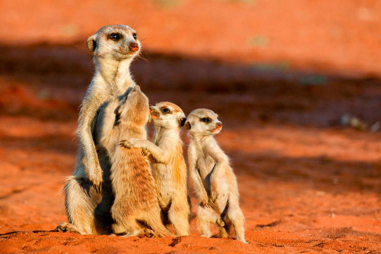 Fotoreise_Namibia_Fotosafari_Afrika_Erdmännchen
