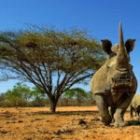 Wilde Nashörner aus einem Meter Abstand fotografieren