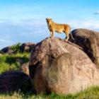Bild des Tages: Fotoreise Tansania, Löwin auf Kopje