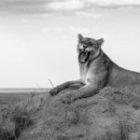 Bild des Tages: Fotoreise Tansania, Löwengebiss