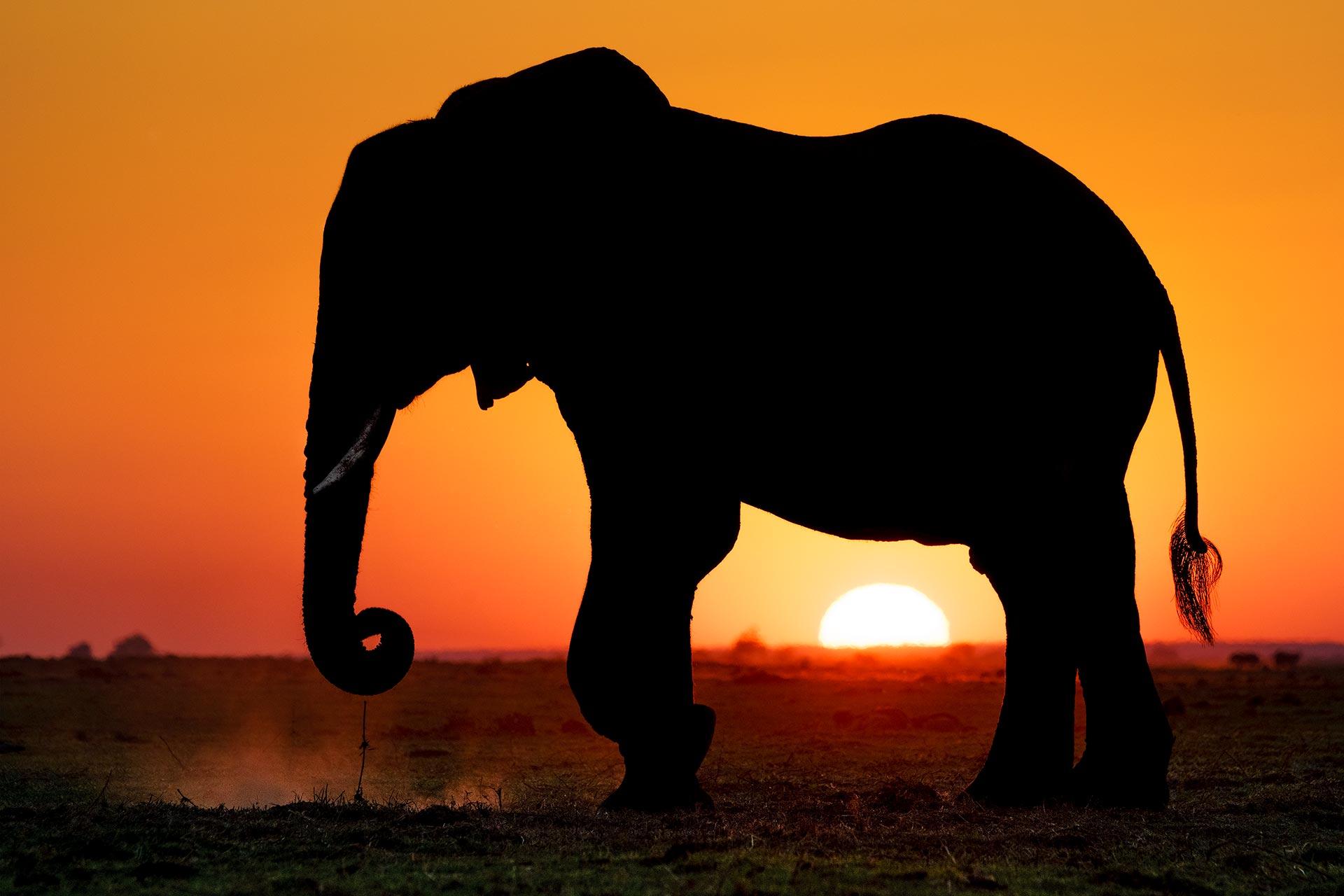 Elefant im Sonnenuntergang fotografiert auf einer Fotoreise durch Botswana mit Benny Rebel Fotosafaris GmbH
