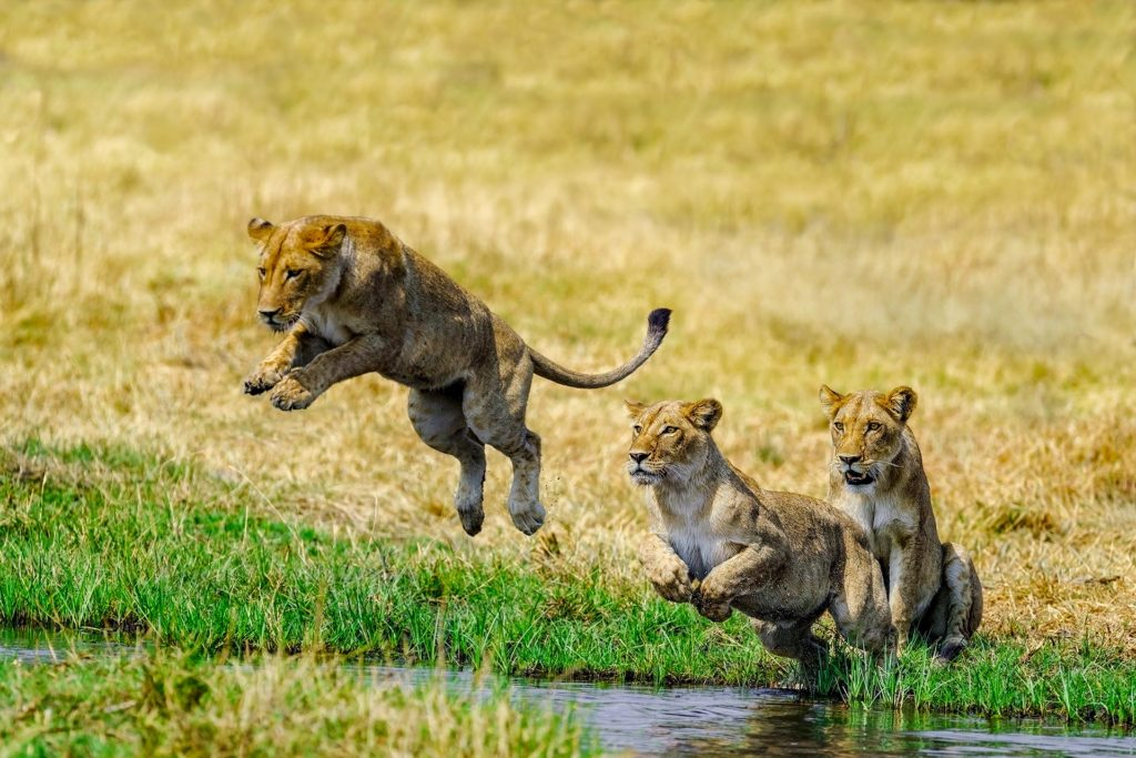 Löwen springen über den Fluss im Okavango Delta - Fotografiert von Benny Rebel auf einer Fotoreise in Botswana