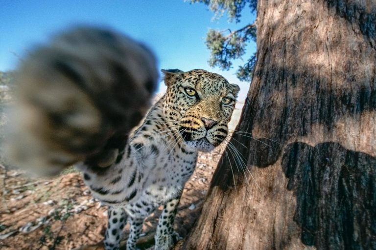 Attacking Leopard
