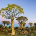 Im Dezember fotografieren wir die Köcherbäume in Namibia