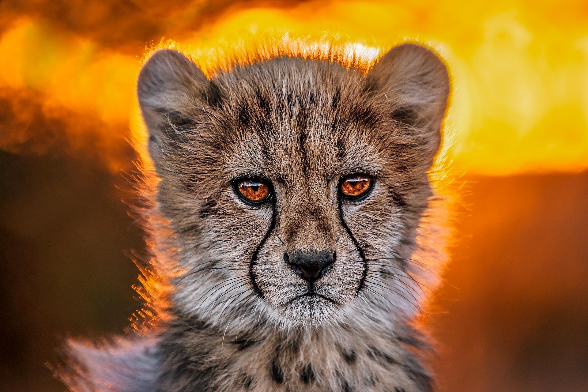 Junger Gepard im Gegenlicht - fotografiert auf einer Fotoreise in Südafrika mit Benny Rebel Fotosafaris GmbH