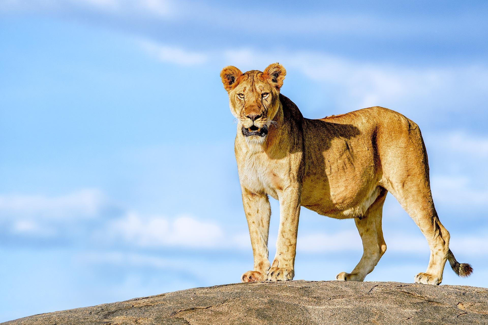 Löwin auf einem Felsen in der Serengeti auf einer Fotoreise mit Benny Rebel Fotosafaris GmbH fotografiert.