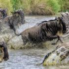 Die spektakuläre Gnu-Wanderung mit Flussüberquerungen in Kenia