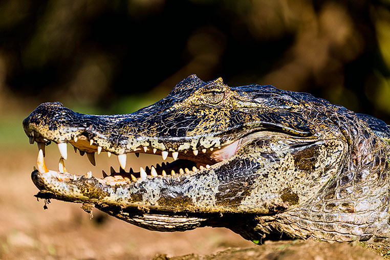 Bilder von Brasiliens Pantanal. Aufgenommen von Benny Rebel auf der Fotosafari 2018 durch das Pantanal. Fotoreisen mit Benny Rebel.www.Fotosafari-Fotoreise.de
