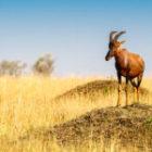 Bild des Tages: Fotoreise Simbabwe, Die Antilope