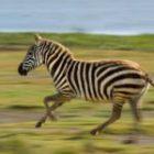 Bild des Tages: Fotoreise Kenia, Der Sprint